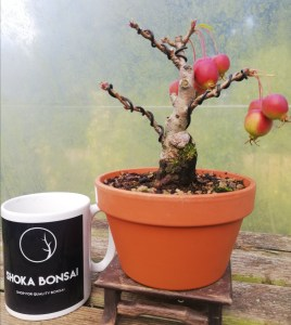Malus Halliana Crab Apple Bonsai Tree
