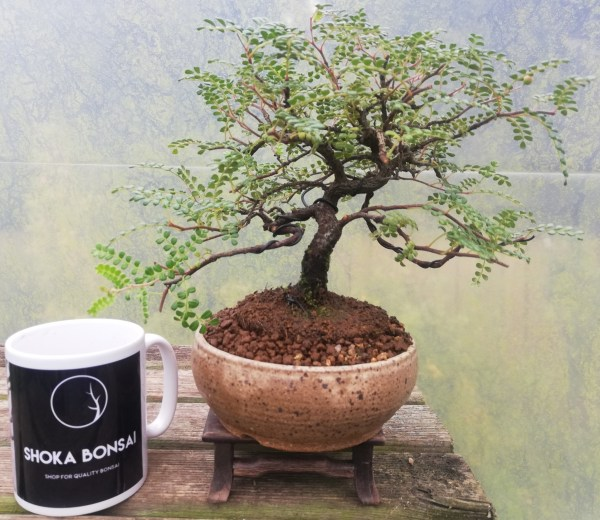 Osteomeles Hawaiian Hawthorn Bonsai Tree