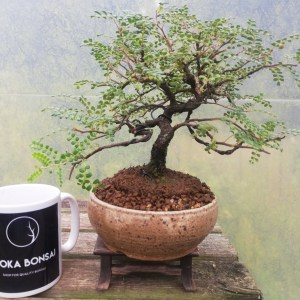 Osteomeles Hawaiian Hawthorn Bonsai Tree