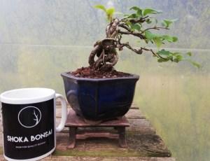 Cheanomeles Flowering Quince Bonsai