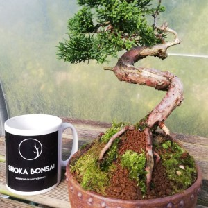 Superb Chinese Juniper bonsai Tree