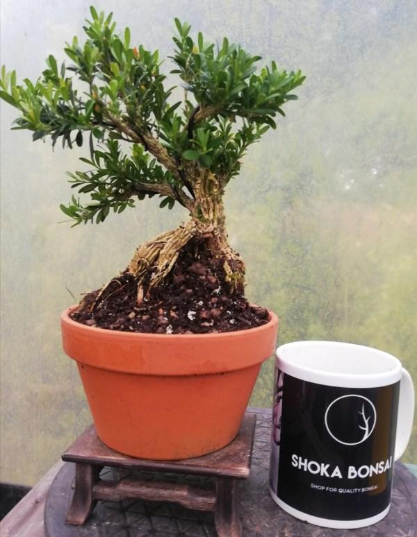 Buxus Harlandii Bonsai in training pot