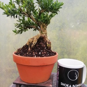 Buxus Harlandii Bonsai in training pot
