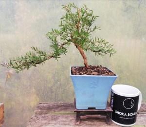 Leptospermum - Tea Tree flowering starter Bonsai