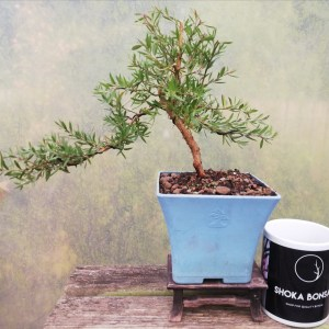 Leptospermum - Tea Tree flowering starter Bonsai