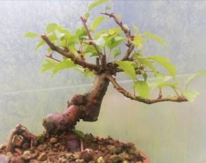 Japanese Crab Apple Starter Bonsai Tree