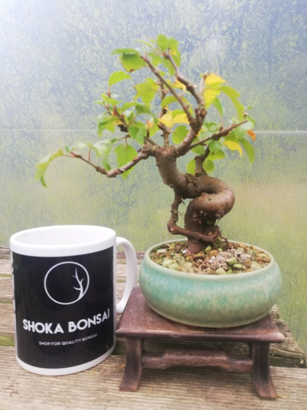 Japanese Crab Apple Bonsai Tree