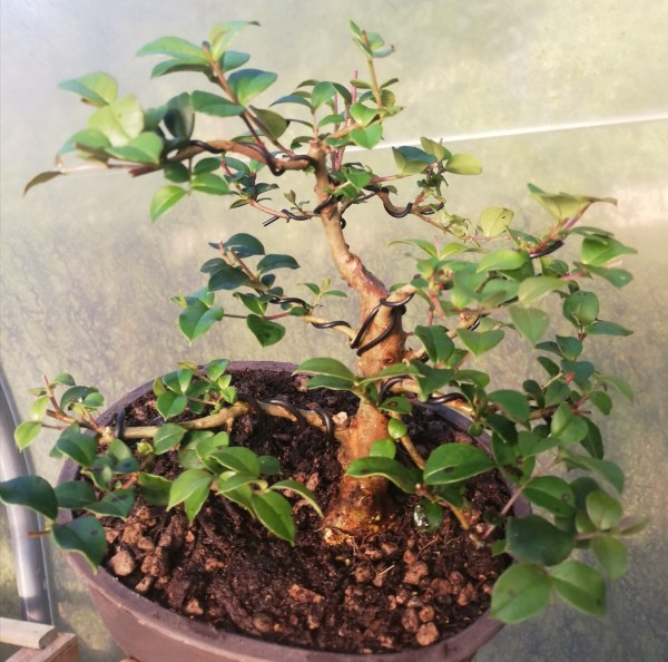Common Myrtle Bonsai Starter tree