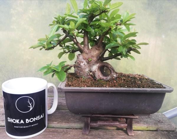Sumo Shohin Pyracantha Bonsai Material