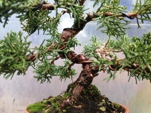 Chinese Shimpaku Juniper Shohin Bonsai Tree