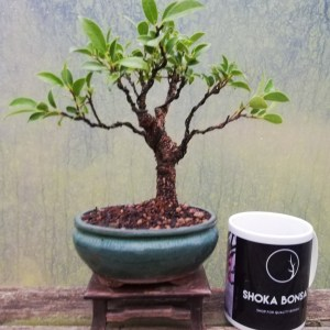 Tiger Bark Ficus Retusa Indoor Bonsai Tree