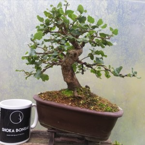 Holm Oak/Quercus Ilex evergreen Bonsai Tree