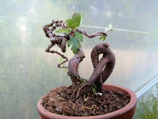 Japanese Crab Apple Starter Bonsai Tree (6)