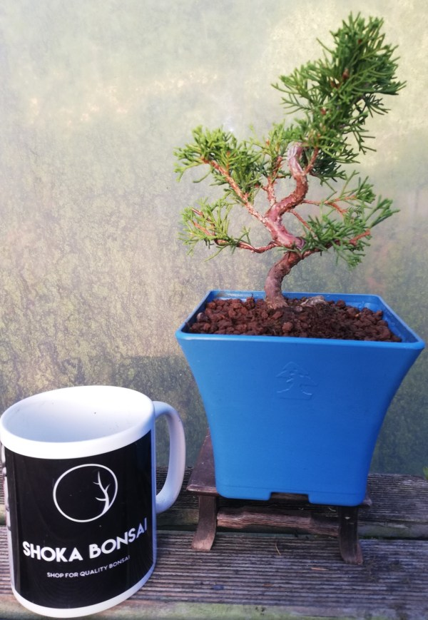 Chinese Juniper Itoigawa Shohin Bonsai Tree in training
