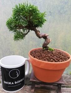 Juniper Itoigawa starter Bonsai Tree
