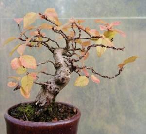 Korean Hornbeam Shohin Bonsai Tree