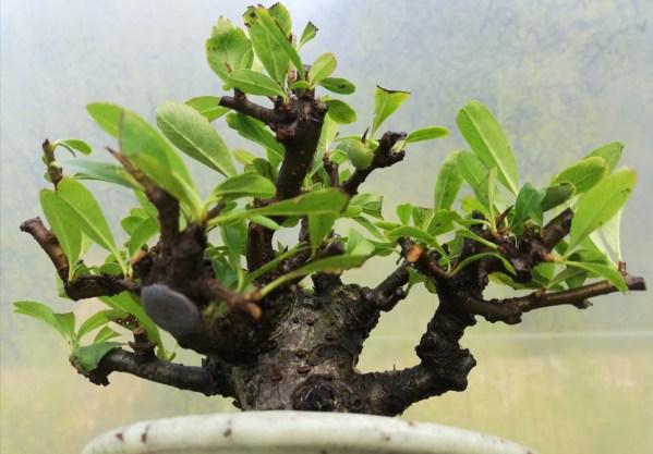 Great Quality Shohin Pyracantha Firethorn Bonsai