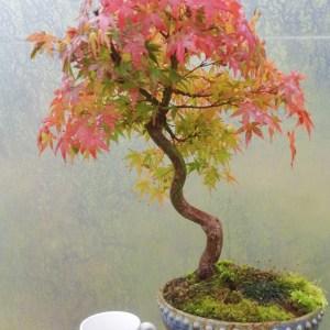 Elegant Japanese maple bonsai tree
