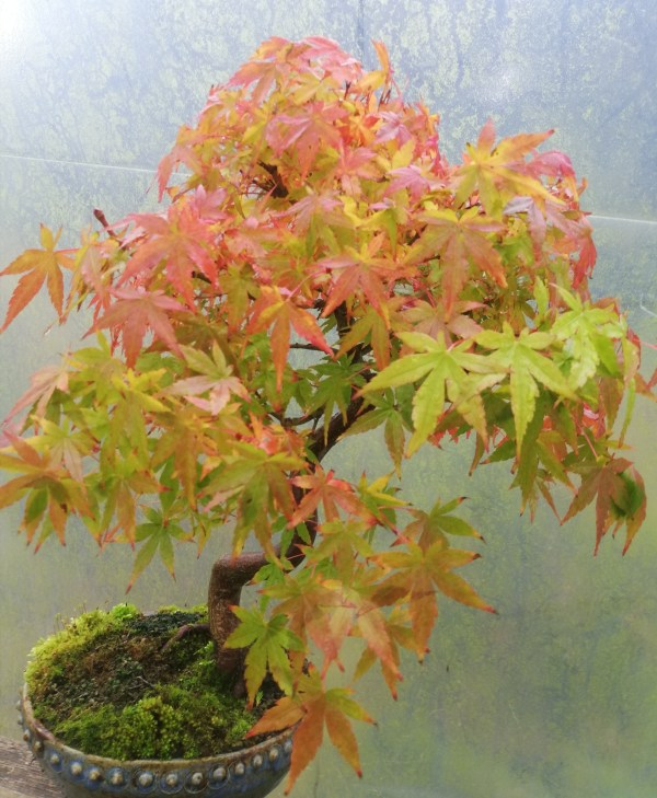 Elegant Japanese maple bonsai tree