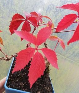 Virginia creeper, Parthenocissus quinquefolia Bonsai Starter Tree