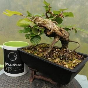European Beech bonsai tree