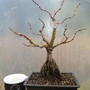 Alder Bonsai Alnus Glutinosa in Training