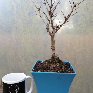Cork Bark Elm Starter Bonsai