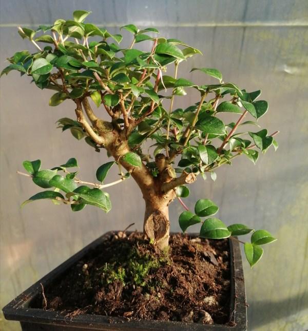Common Myrtle Bonsai tree