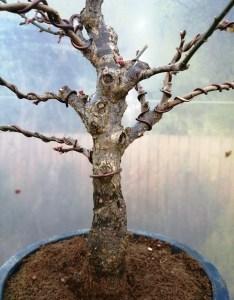 Prunus Mume Japanese Apricot Bonsai Tree