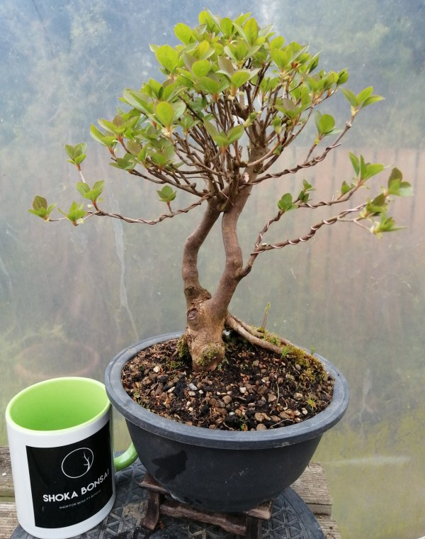 Enkianthus Bonsai Tree