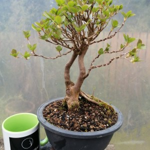 Enkianthus Bonsai Tree