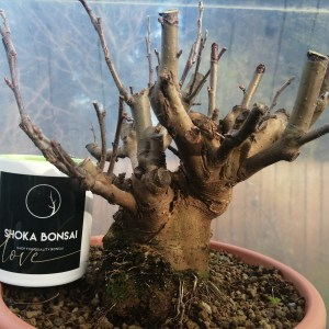Large Crab Apple Malus Sylvestris Bonsai Material