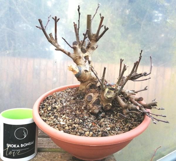 Chunky Crab Apple Malus Sylvestris Bonsai tree material