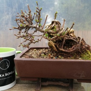 Chojubai Dwarf Quince Root over rock Bonsai Tree