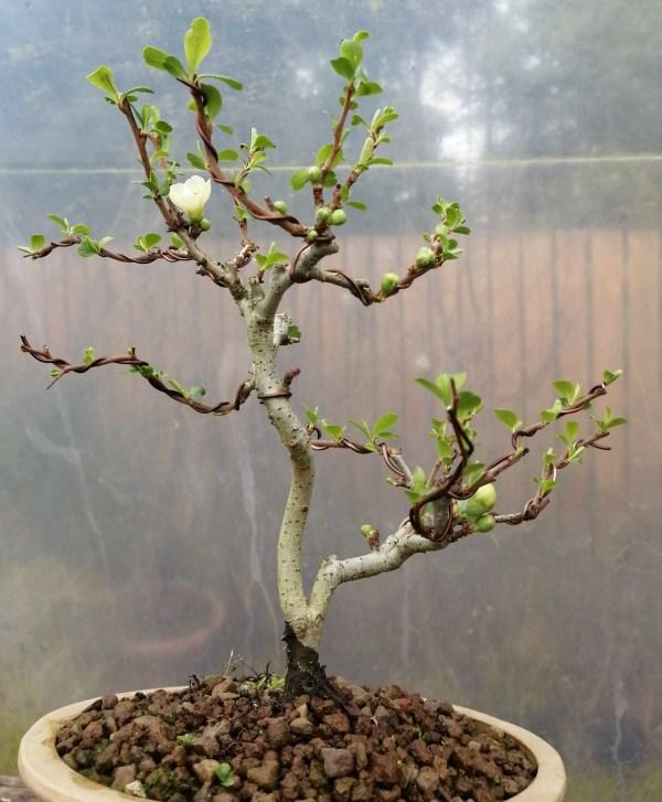 Chojubai white flowering quince