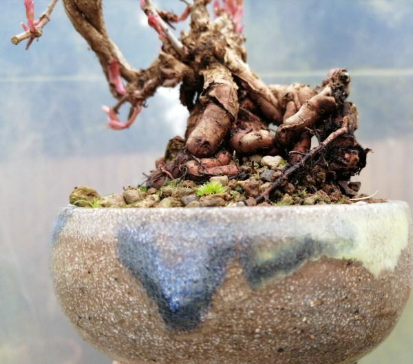Boston ivy/Parthenocissus Tricuspidata Shohin Bonsai