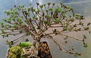 Quality Shohin Dwarf Japanese Alpine Azalea Bonsai