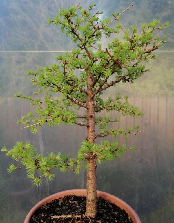 European Larch Bonsai Material