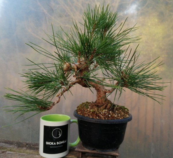 Japanese Black Pine/ Pinus Thunbergii Bonsai material