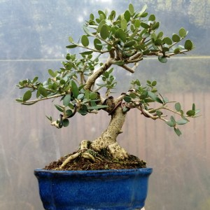 Olea Olive Shohin Bonsai Tree