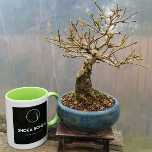 Premna Musk Maple Bonsai Tree