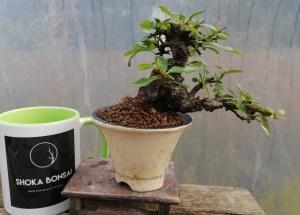 Pyracantha Firethorn Bonsai Tree