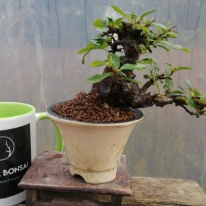 Pyracantha Firethorn Bonsai Tree