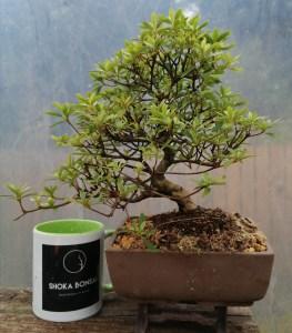 Satsuki Azalea Bonsai tree
