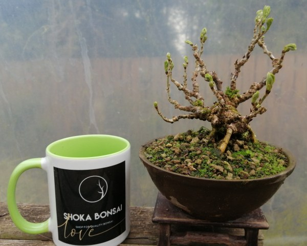 Shohin Wisteria Bonsai tree