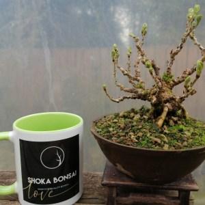 Shohin Wisteria Bonsai tree