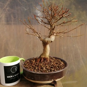 Great Quality Acer Buergerianum Trident Maple Bonsai Tree