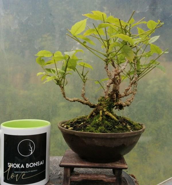 Wisteria Shohin bonsai tree