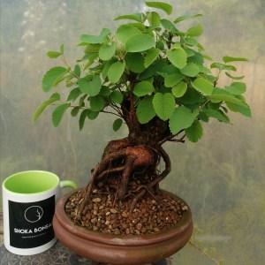 Unique Amelanchier Bonsai Tree