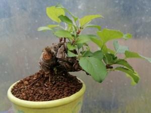 Contorted Mini Crab Apple Bonsai Tree